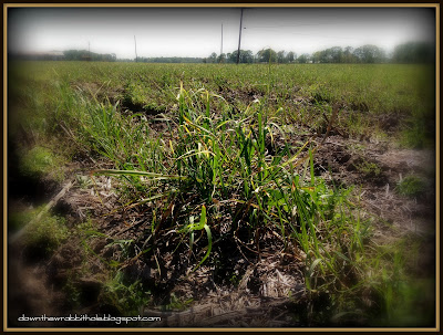 sugar cane fields, sugar cane seedling, New Orleans, Louisiana