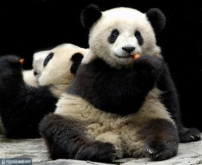 Images comiques et insolites Animal - Panda v15