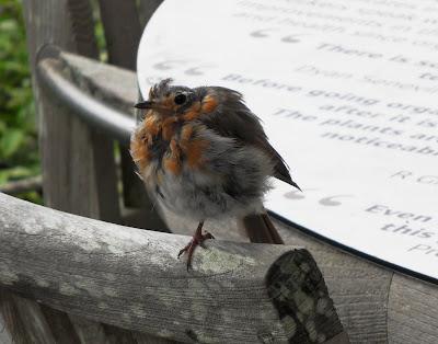 bedraggled fledgling robin