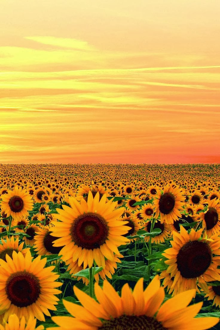 Sunset in Sunflower field, Maryland,