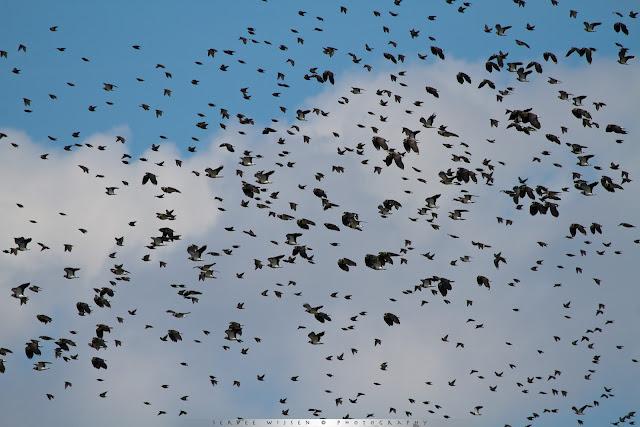 Jagende Bruine Kiekendief brengt een hoop onrust teweeg onder de vele Kieviten en spreeuwen die massaal op de vleugels gaan.