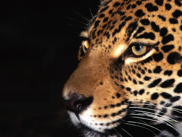 leopard_wallpaper_hd