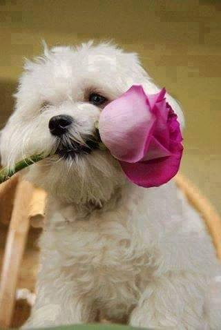 cute puppy with pink rose holding