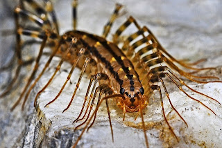 House Centipede Anatomy