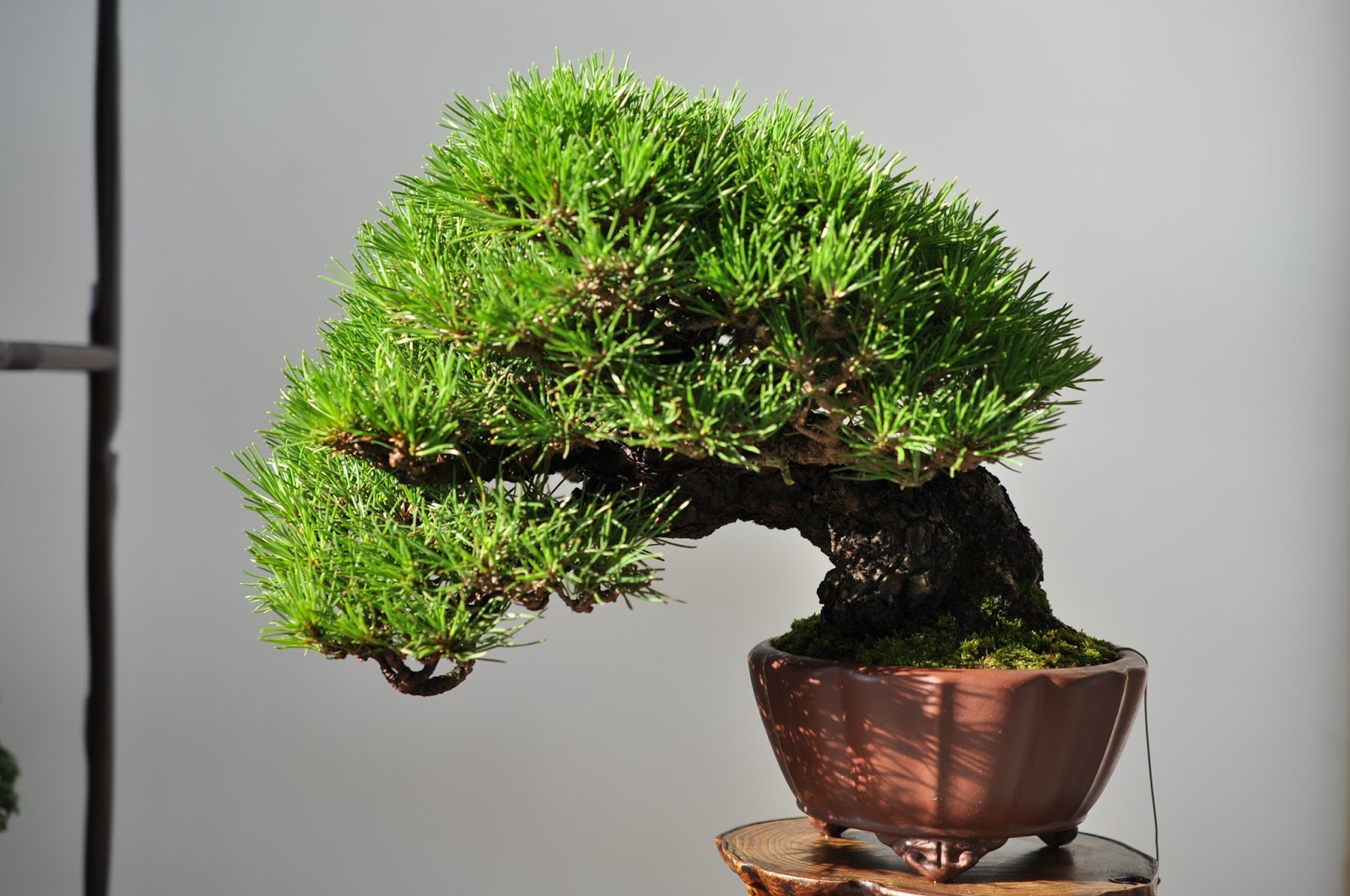 All In One Bonsai And Ceramics TienMu Bonsai Exhibition