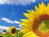 bunga matahri obat tradisional mengatasi penyakit secara alami herbal