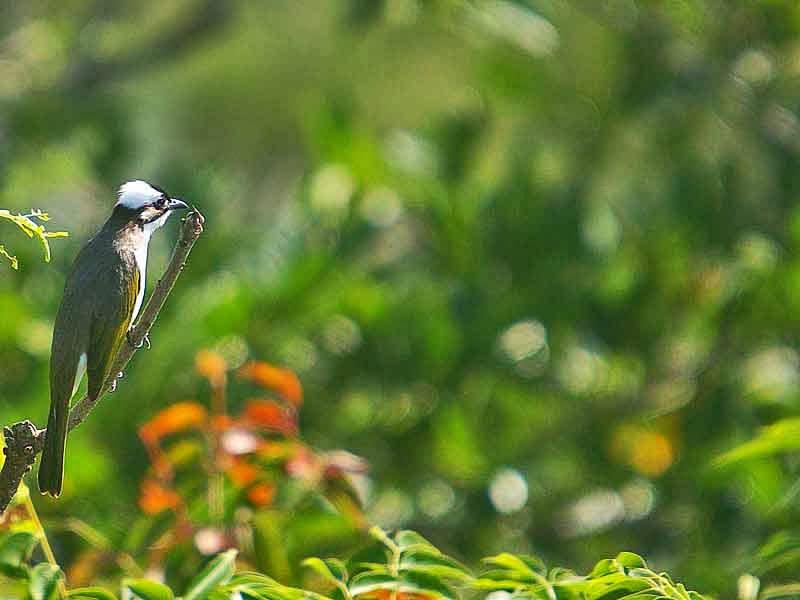 bird, Chinese Bulbul
