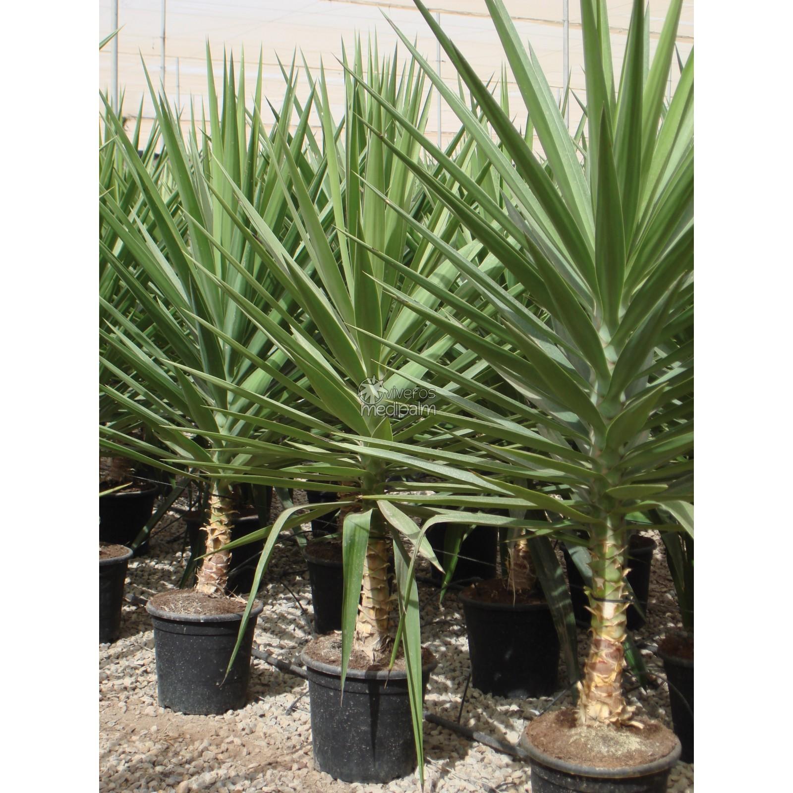 Vriksha nursery honey i cooked the cactus the succulents for Yucca elephantipes exterieur