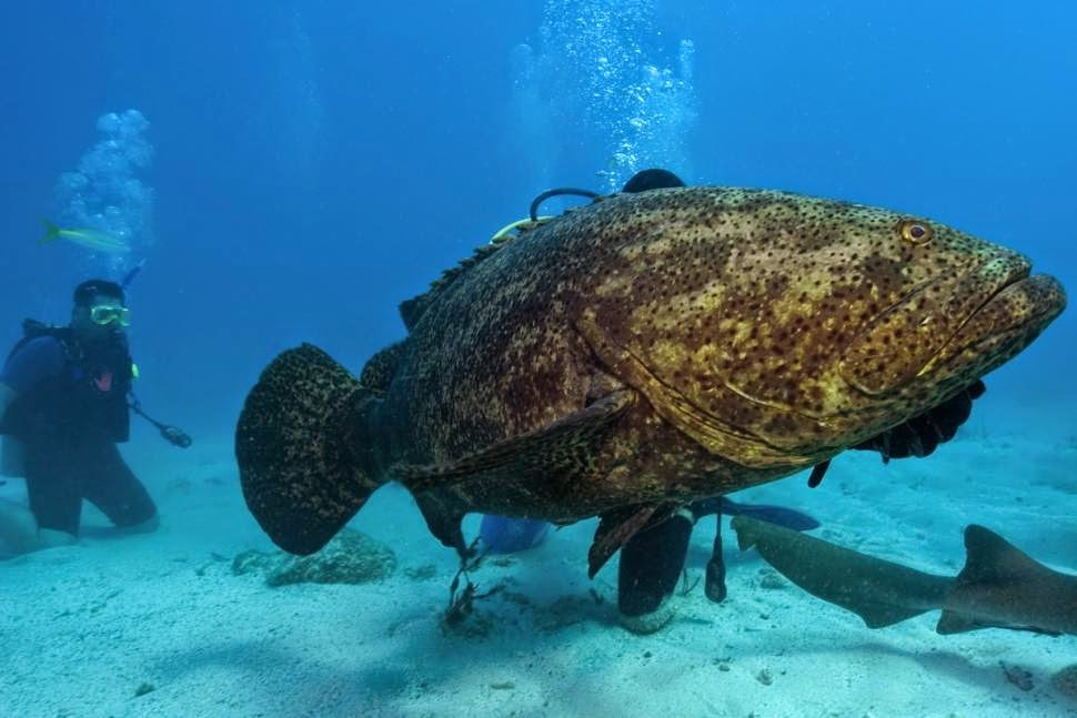 Goliath Grouper Fish Swallows 5 Foot Shark In A Single Bite