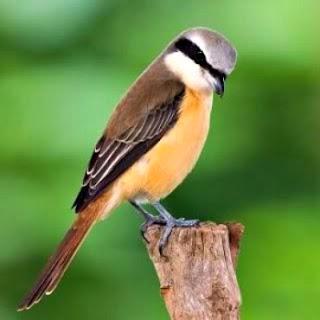 Foto Burung Pentet Harga Burung Kicau Terbaru Murah