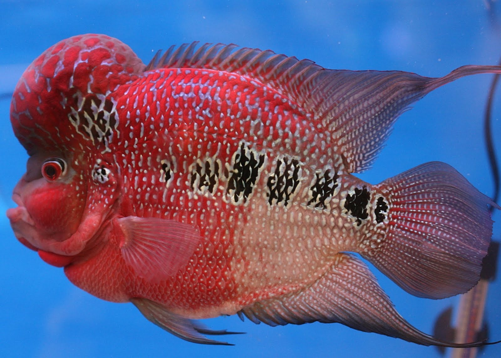 Flowerhorn The Hybrid Cichlids Flower Horn Fish