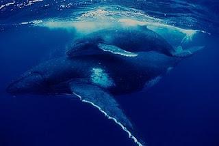 Baleia Jubarte - TV Selvagem