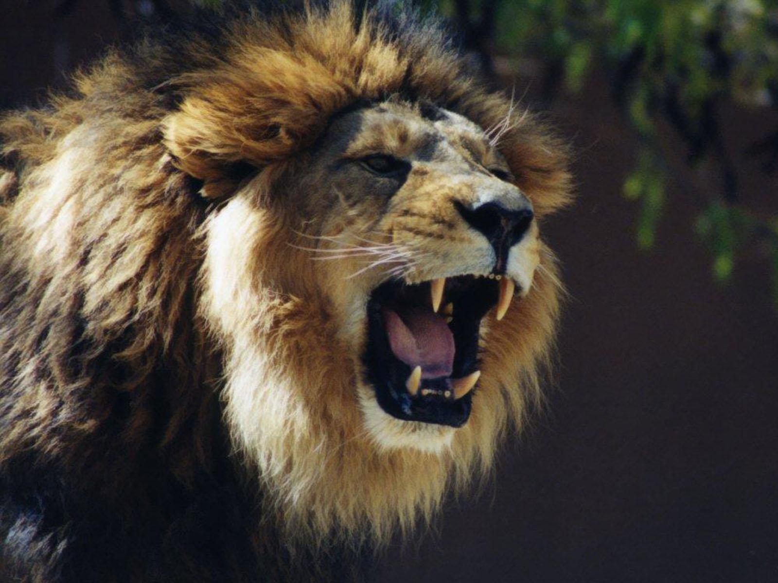 http://2.bp.blogspot.com/-hEJRJCYfuzs/T32e8HdV3gI/AAAAAAAAB1s/02MSd4fvsw4/s1600/Lion%20Roaring%20Wallpapers%201.jpg