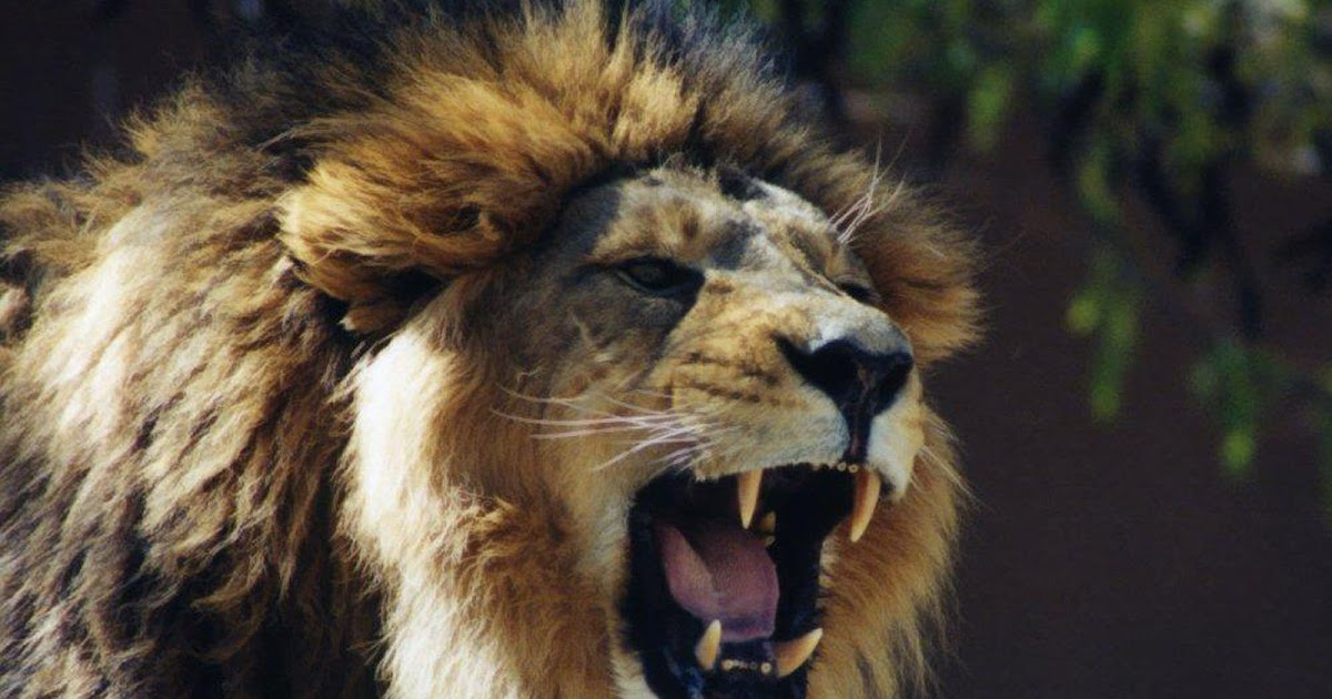 wallpapers: Lion Roaring Wallpapers - photo#6