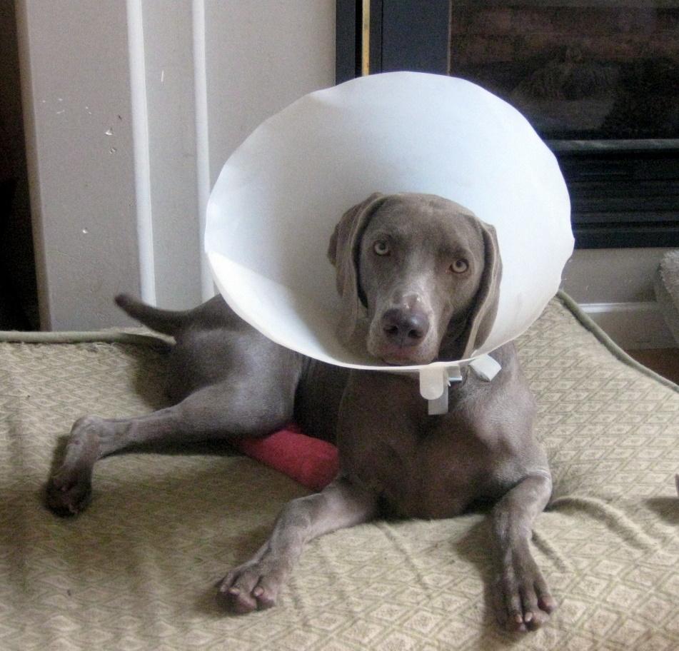 Resultado de imagen para weimaraner head cone