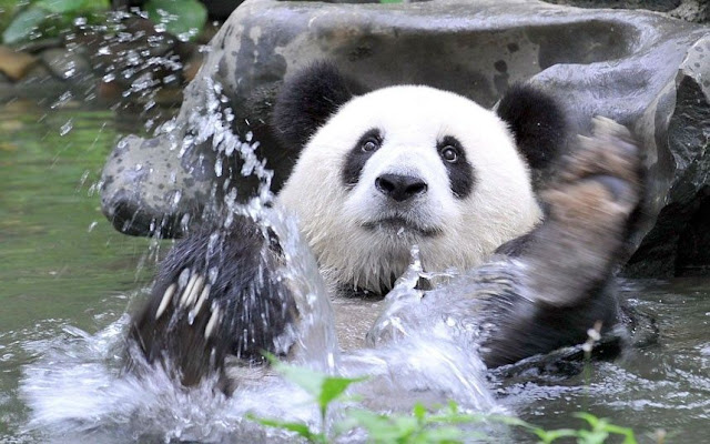 swimming panda, funny animal pictures of the week