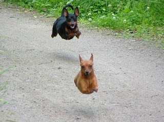 Flying dogs gif