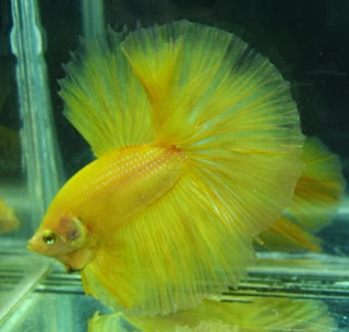 gambar ikan cupang kuning