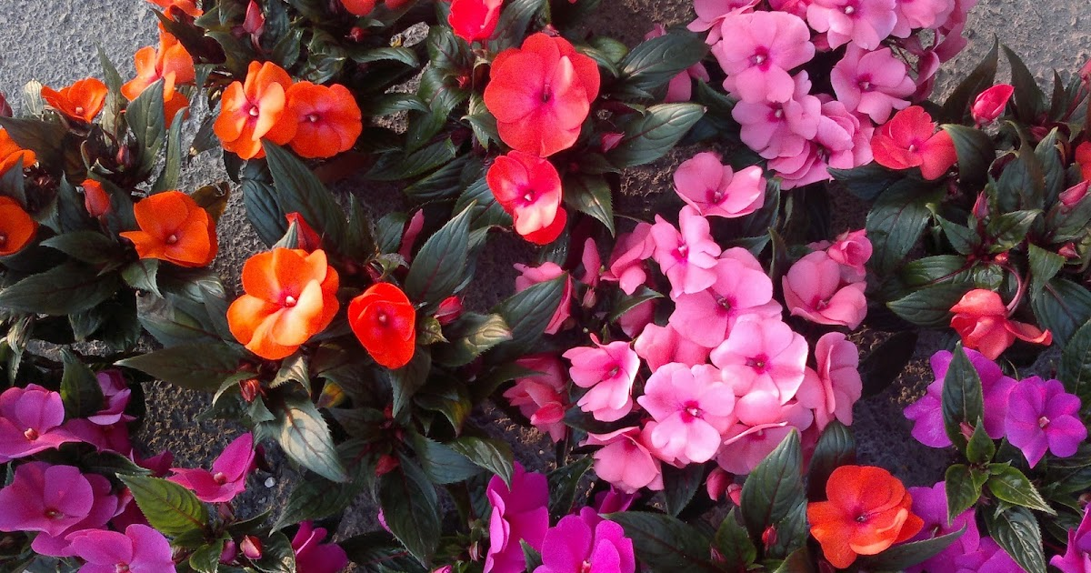 Plantas vimeplant impatiens p rico o alegr a de la casa - Alegria planta cuidados ...