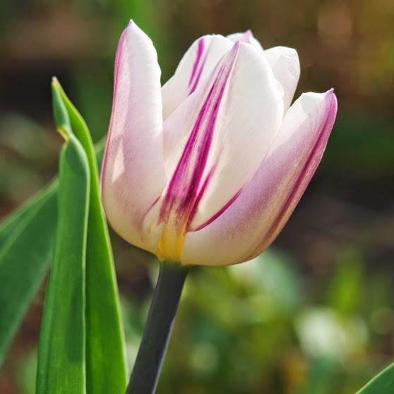 Stribet tulipan Rems Favourite, er en smuk tulipan i havens bede