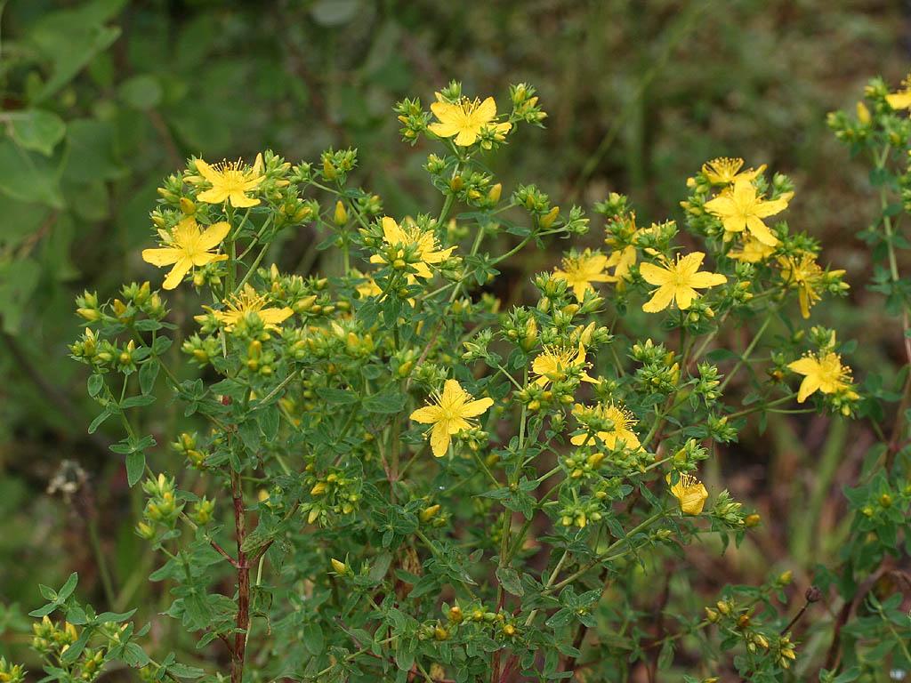 Huile de millepertuis conservation d herbes stop mensonges for Plante 5 doigts bahamas