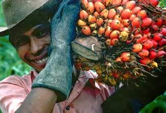 recogida cultivo de palma. Tercera Edad para Tercer Mundo