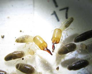 Kemneritermes termites soldiers and workers