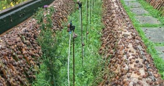 Cr a y venta de caracoles en m xico como hacer una granja for Caracoles de jardin como eliminarlos