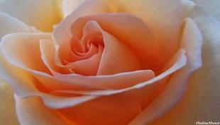Apricot Nectar Autumn 2012