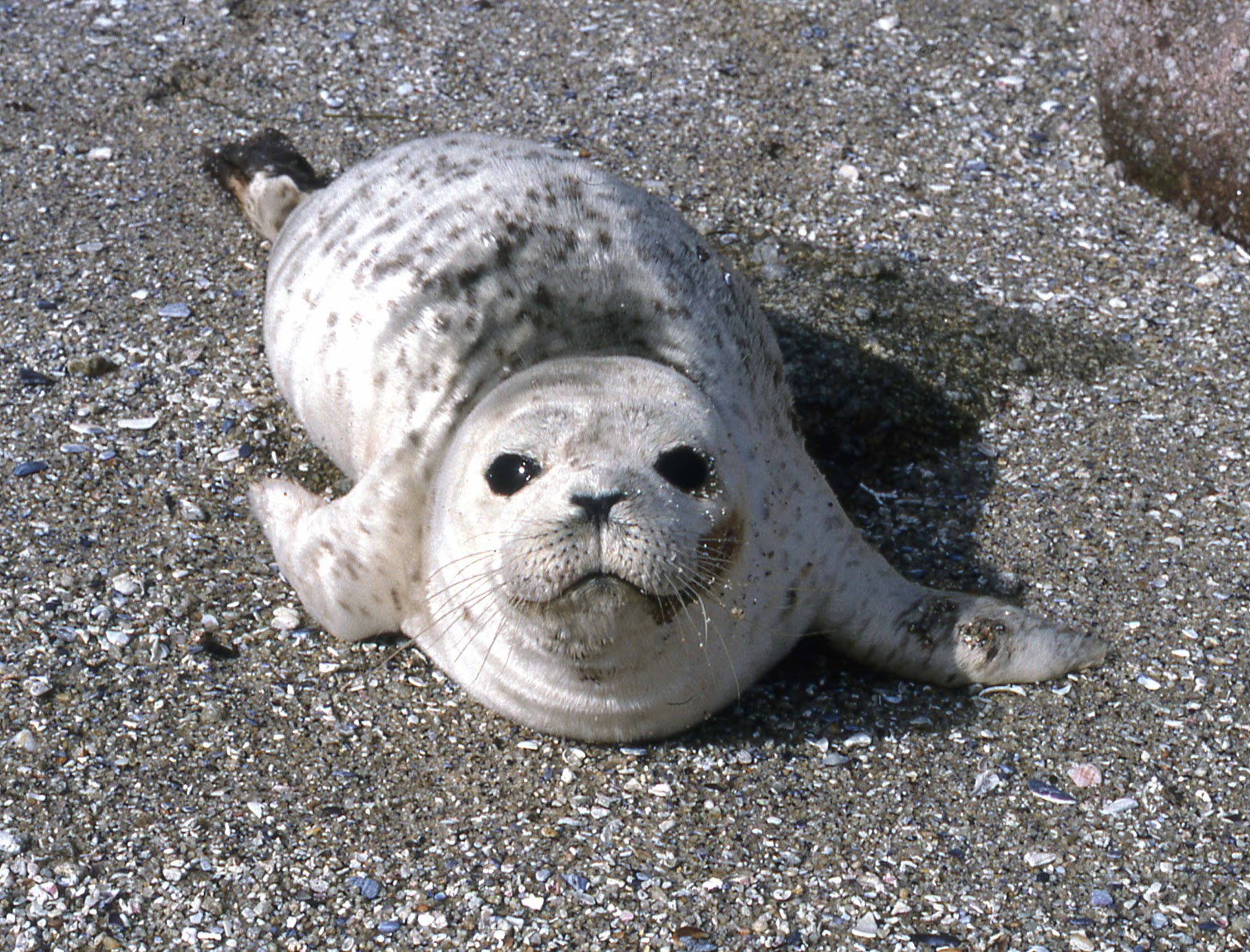 Harbor Seal Pup - Phoca vitulina | Shooting From The Hip