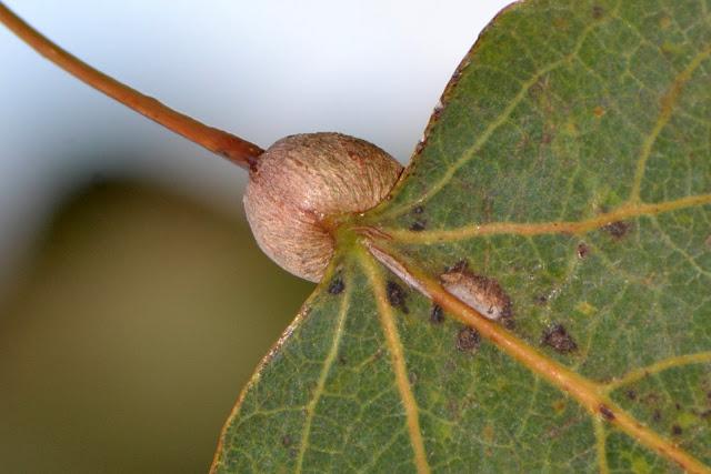 gall of Poplar Petiole Gall Moth (Ectoedemia populella) on aspen