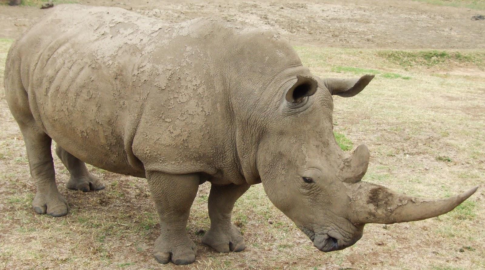 Todo sobre los rinocerontes - Toda la informaci  243 nEndangered Species With Their Names List