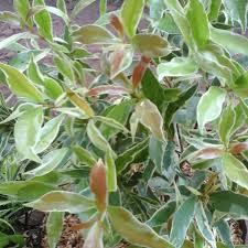 jual pohon pucuk merah varigata