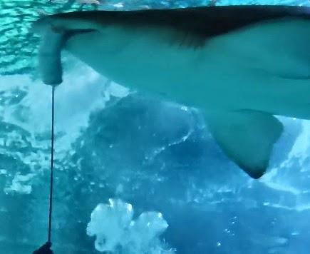 Gastón es un tiburón toro que se puede ver en la sala Nautilus del Aquarium Finisterrae
