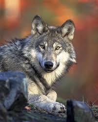 Petizione contro il documento che vorrebbe permettere la caccia al lupo in Italia