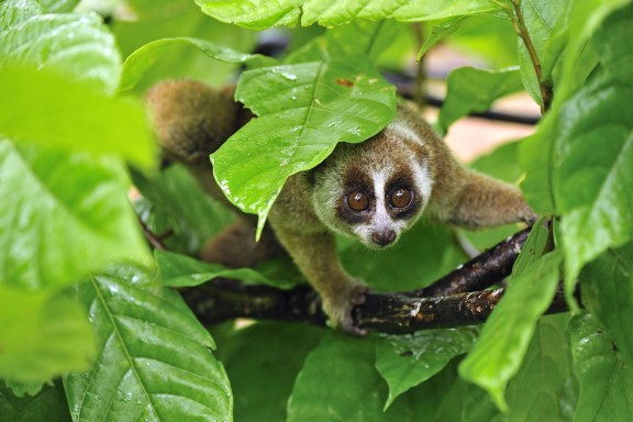 15 cutest endangered animals in the world, slow loris