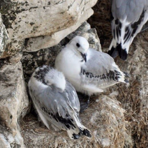 kittiwake chicks