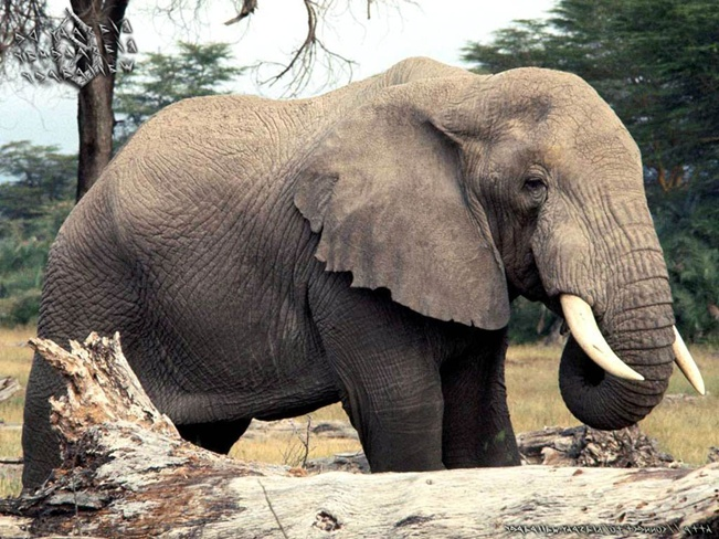 animal elephant free wallpapers my style