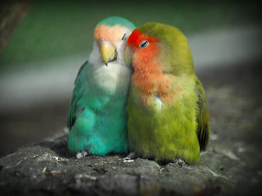 Picturespool love birds wallpapers beautiful birds pictures Pictures of birds
