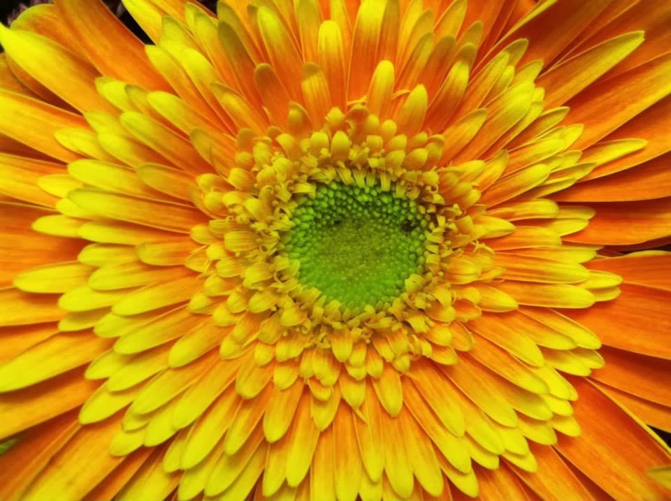 Sun Daisy by Maja Trochimczyk
