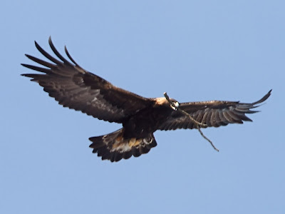golden eagle in flight carrying a stick