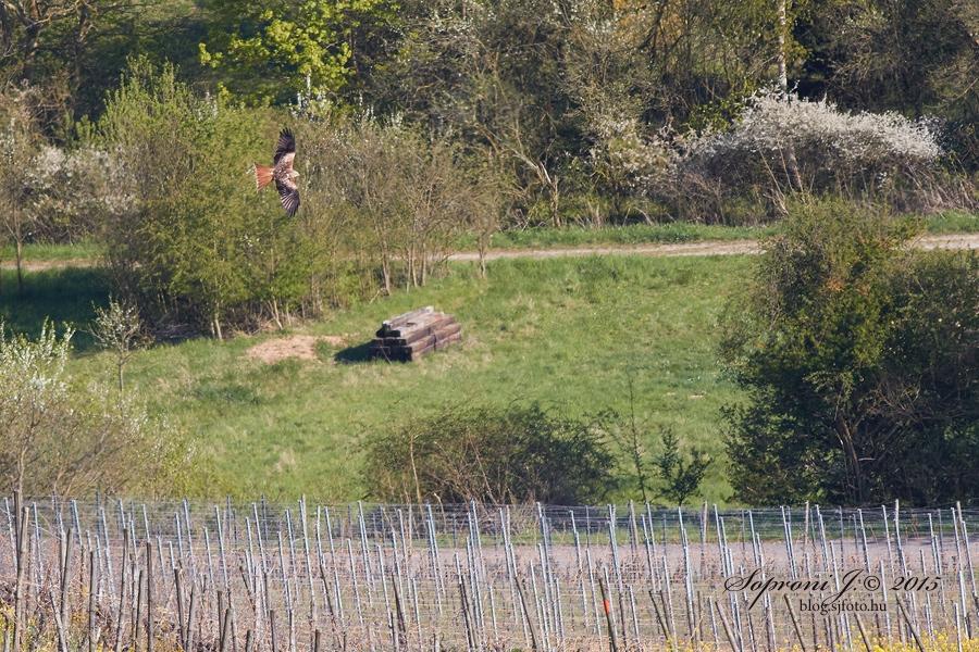Vörös kánya - Red Kite - Rotmilan - Milvus milvus