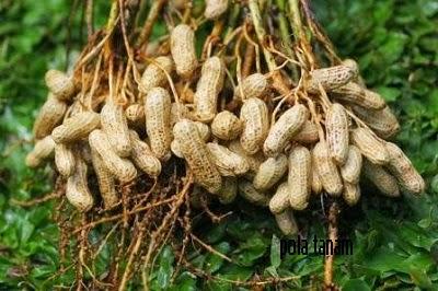 Budidaya Kacang Tanah Organik