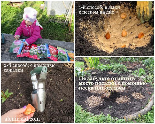 аленин сад, посадка тюльпанов, как сажать тюльпаны, правила посадки, сажалка, для тюльпанов, плантер, ямки под луковицы, луковицы тюльпанов, глубина посадки, мульчирование,