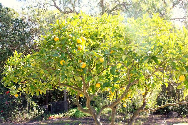 orange / citrus tree
