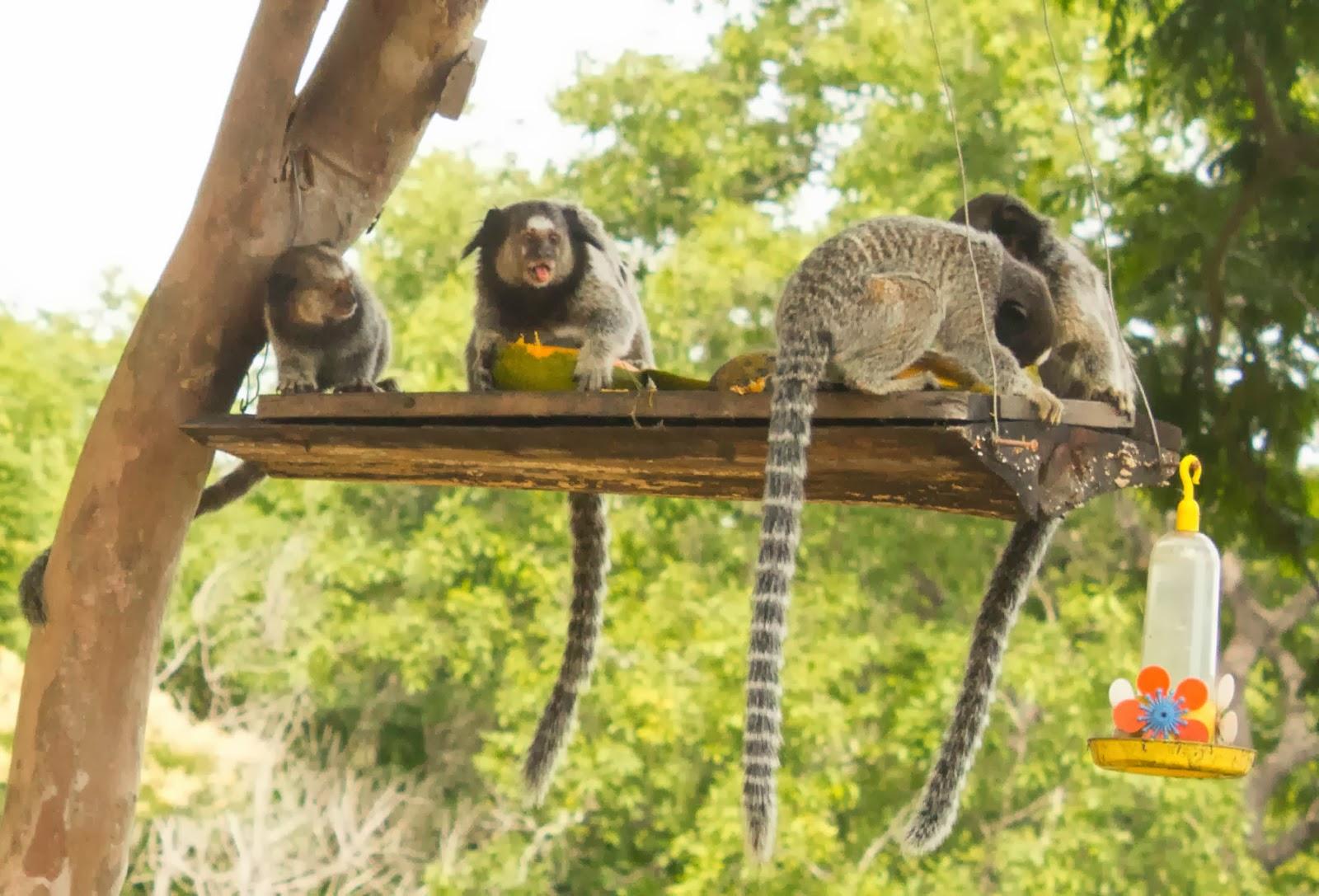 Os miquinhos se deliciando ao lado da casa - Fotografia de Jéssica Guedes - Copyright © 2014 (C) – Todos os Direitos Reservados