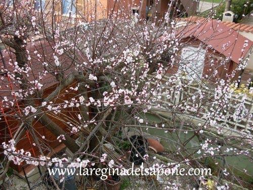La regina del sapone albicocco in fiore dal balcone di casa - Cosa vedo dalla mia finestra tema ...