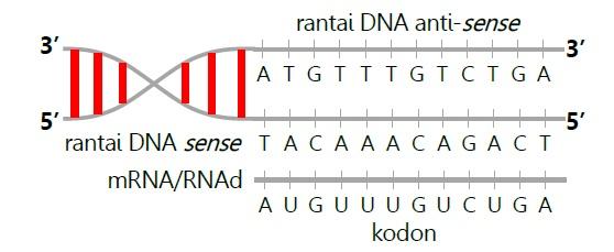 Sintesis protein science is easy and fun tahap pertama pada sintesis protein adalah transkripsi pada proses ini terdapat beberapa langkah hingga terbentuk mrna langkah tersebut adalah ketika ccuart Images