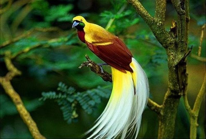 foto burung cendrawasih