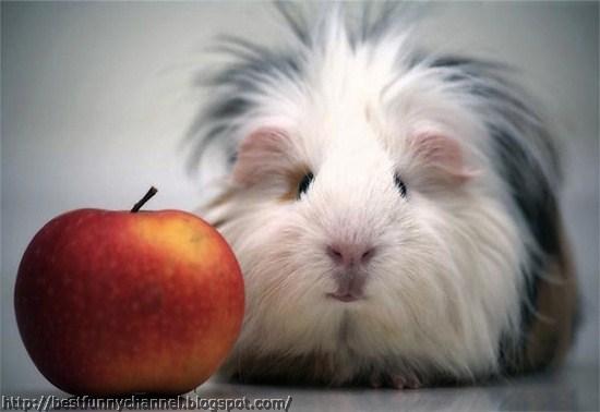 Funny guinea pig..